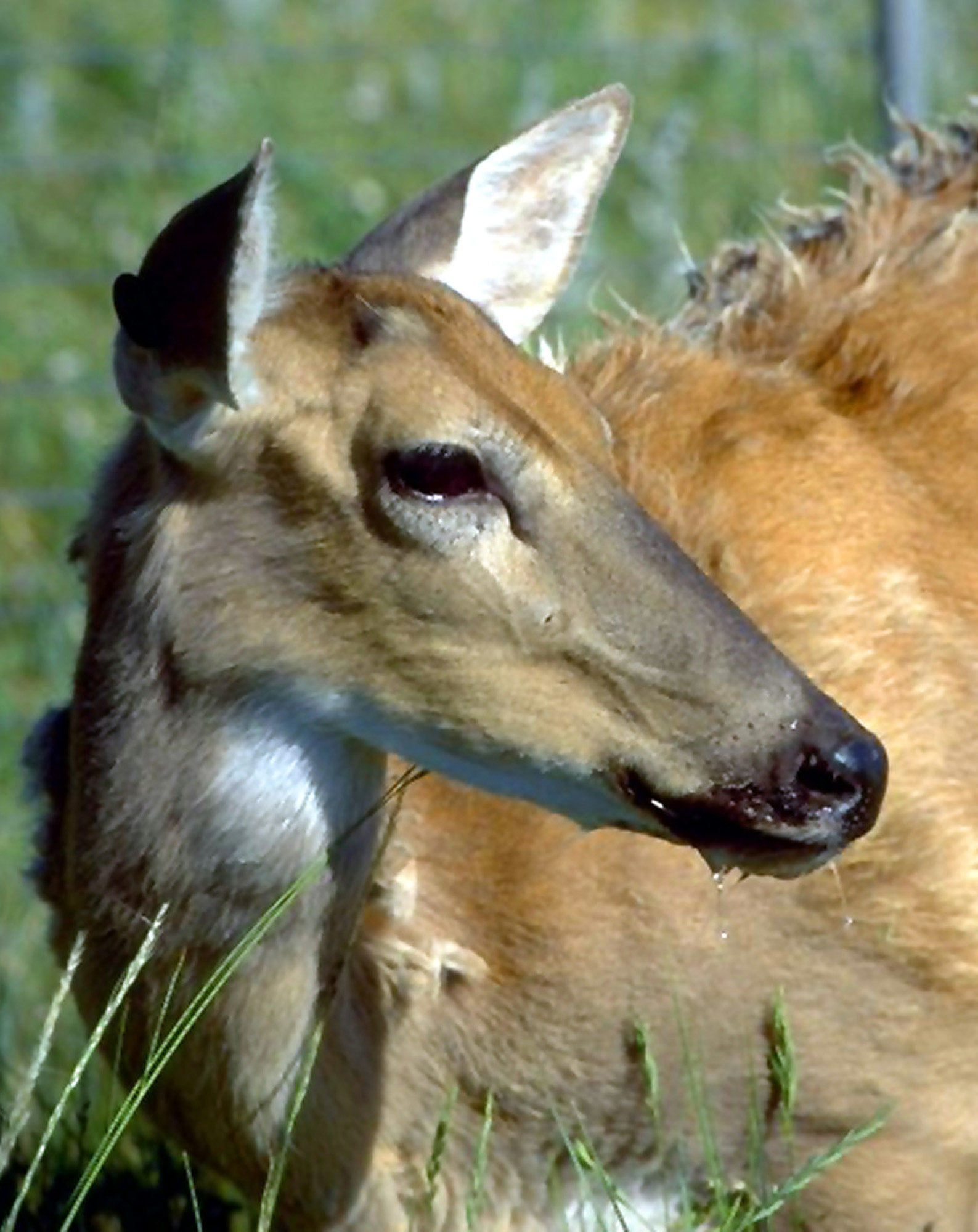 A white-tailed deer showing symptoms of chronic wasting disease, including drooling, is shown in this undated file photo prov