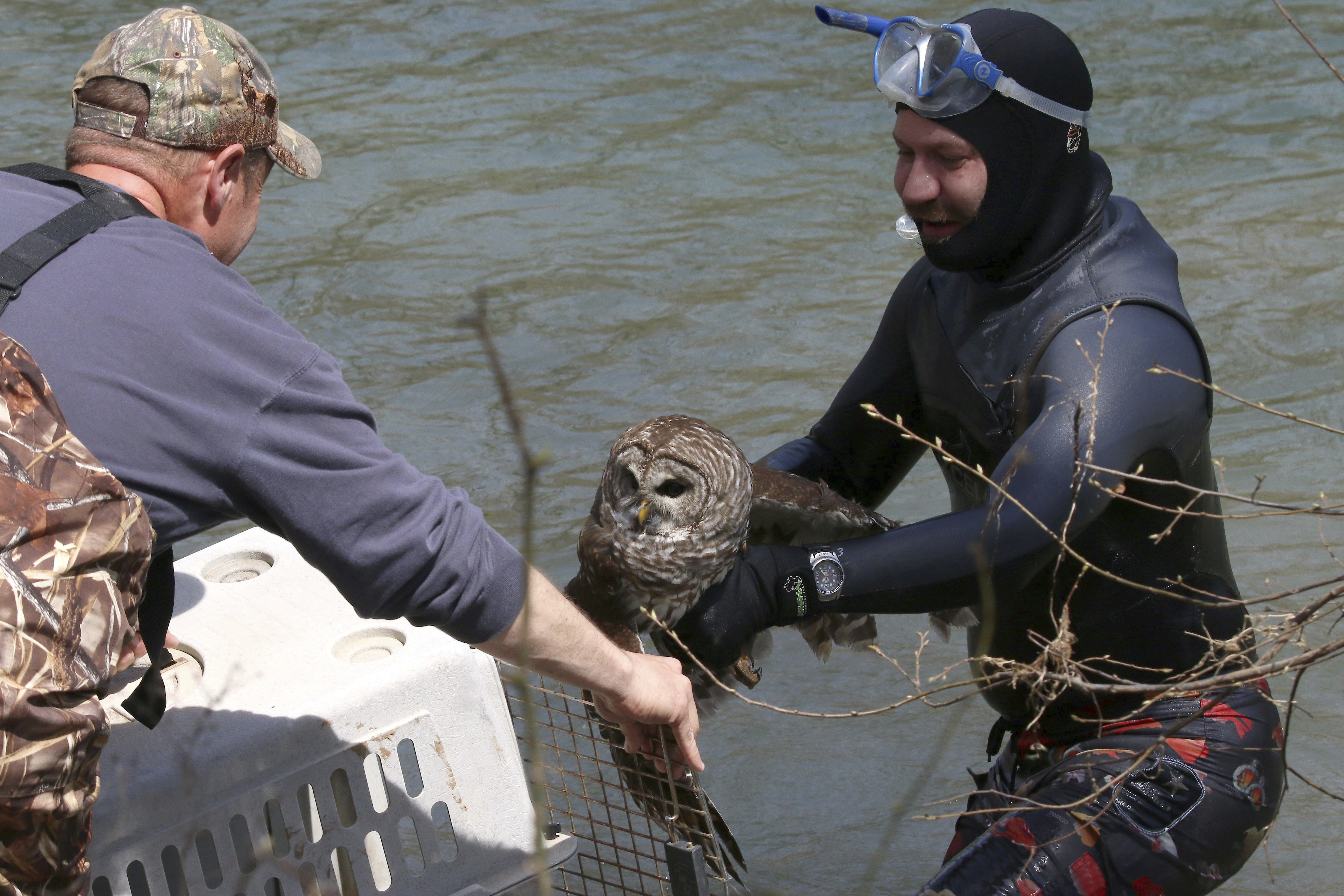 Knapp carrying the newly-rescued barred owl to safety.