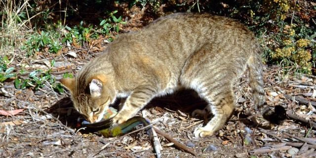 In 2015, the Australian government announced a plan to kill 2 million feral cats by 2020, according to a recent report from The New York Times. Feral catshave invaded almost the whole continent and have been severely damaging to native species. (AP Photo/Department of the Environment, C. Potter)