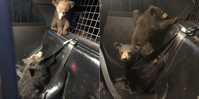 A group of bear cubs were rescued by a trooper in Arizona on Monday after their mother was killed in a car crash.
