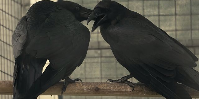 New parents, Huginn and Muninn, are the first pair in the Tower of London's raven breeding program.