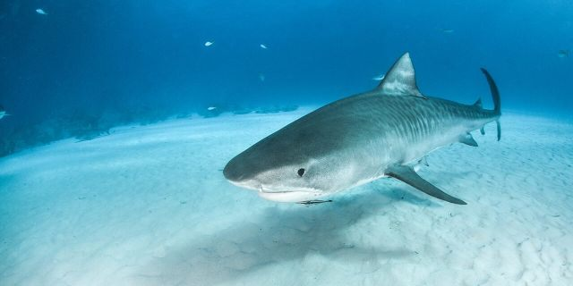 "Fishing captain Chip Michalove, known as the ""shark whisperer"" said he is worried that too many tiger sharks are being killed every year, since it is legal to catch and kill them in South Carolina. (Stock image)"