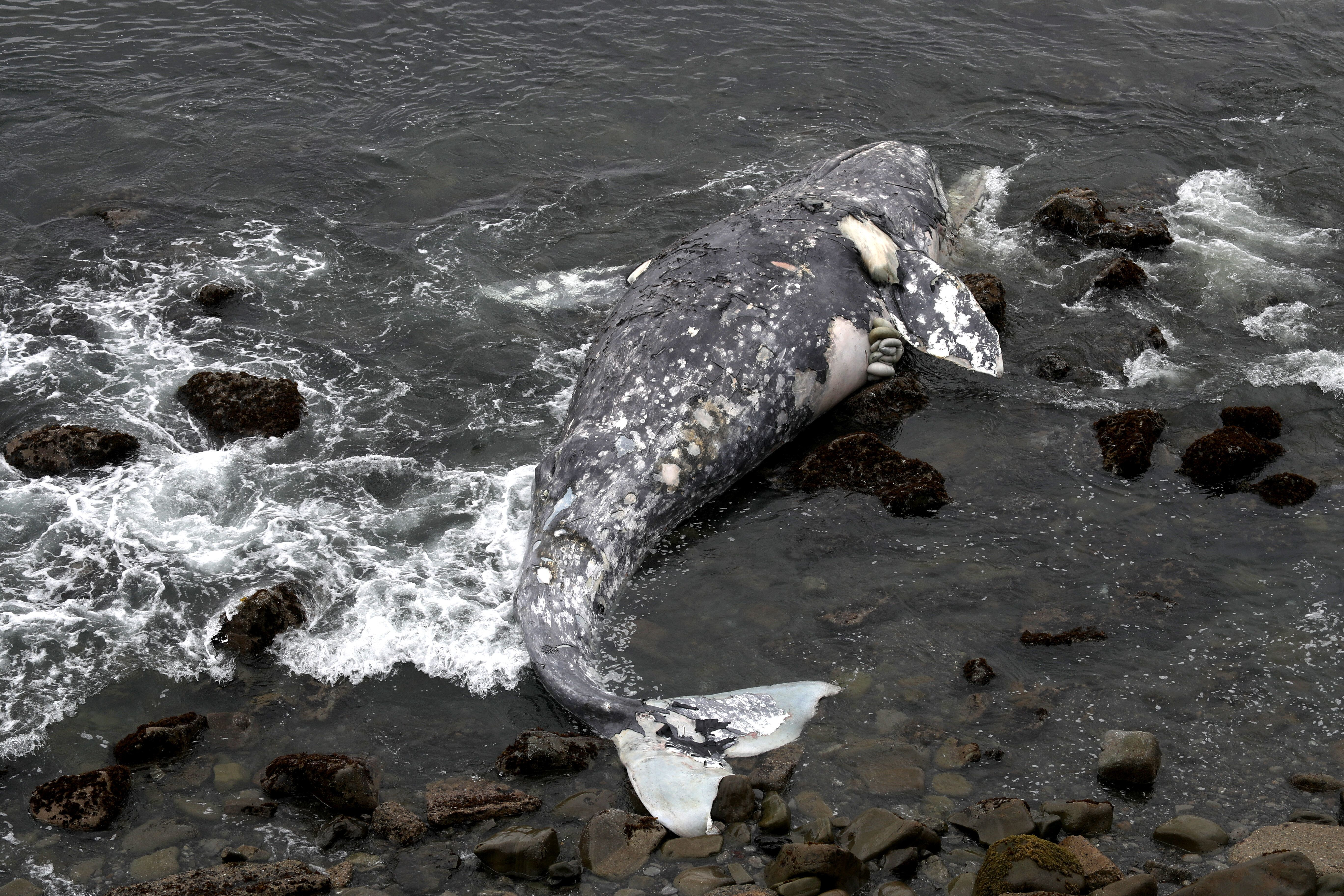 A dead gray whalenear Pacifica State Beach on May 14.