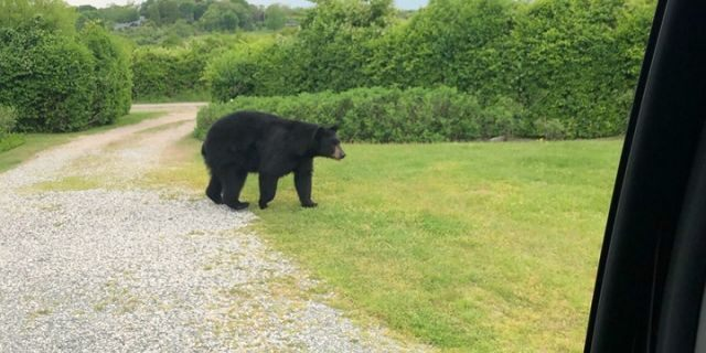 "Wildlife experts urge anyone who comes in contact with a black bear to remain calm and ""secure yourself as quickly as possible."""
