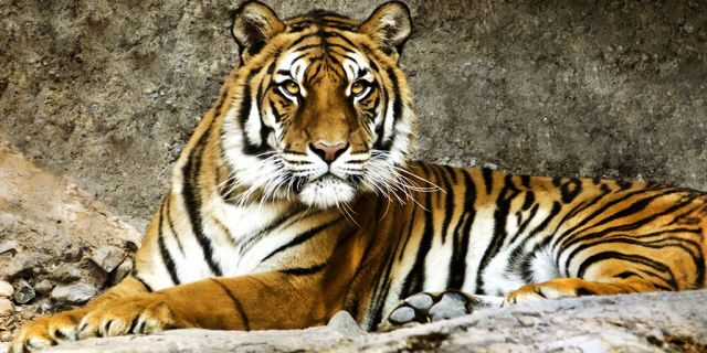 Four alleged Bengal tiger poachers were fatally shot by Bangladesh Police in the Sundarbans mangrove forest on Wednesday, officials said.