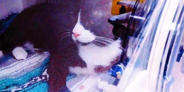 Felix inside an oxygen chamber at The Animal Emergency & Referral Center of Minnesota