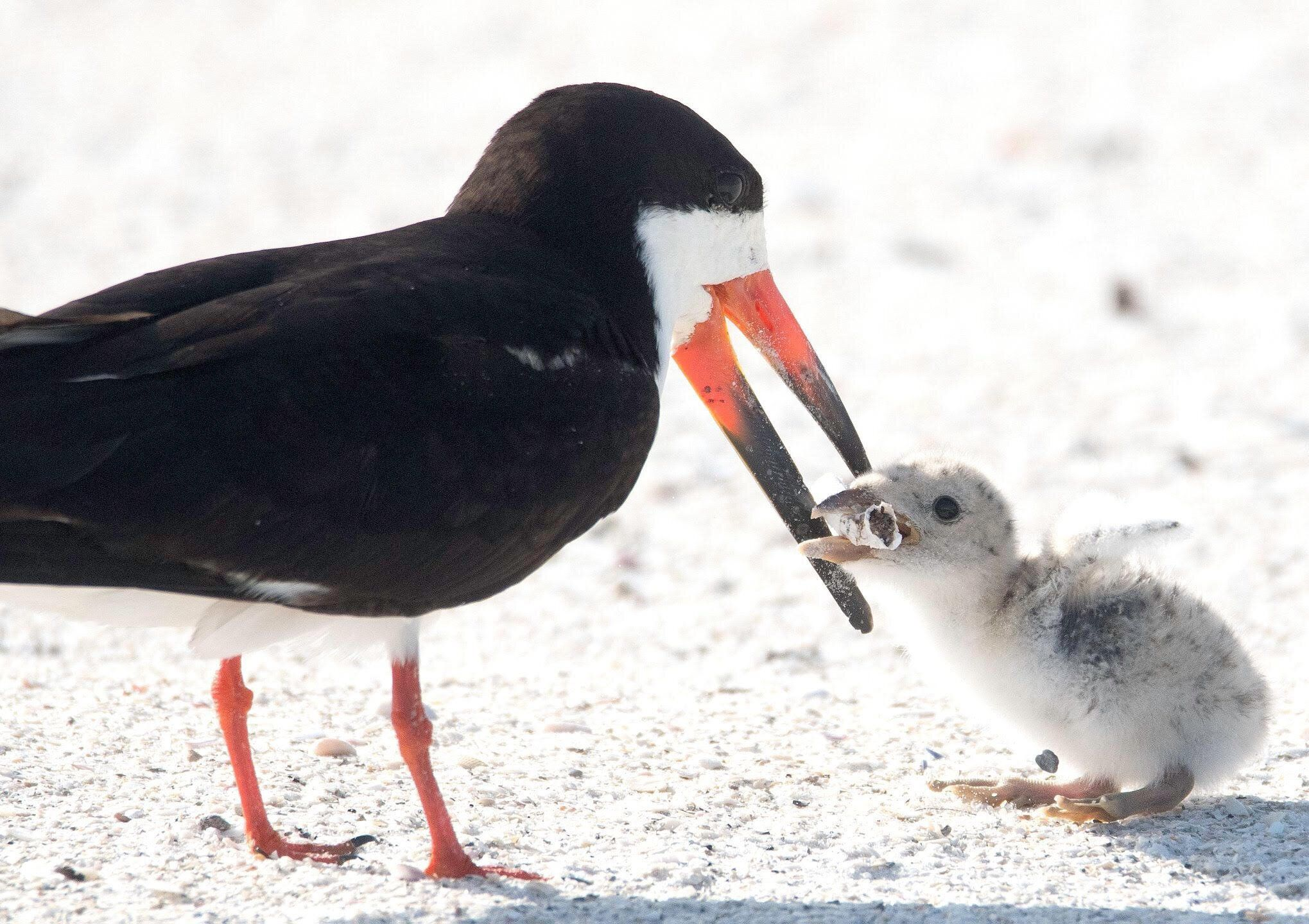 The image Mason captured of a black skimmer feedings it chick a cigarette butt.