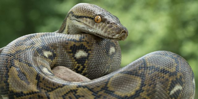 A reticulated python can grow up to 31.5 feet long.