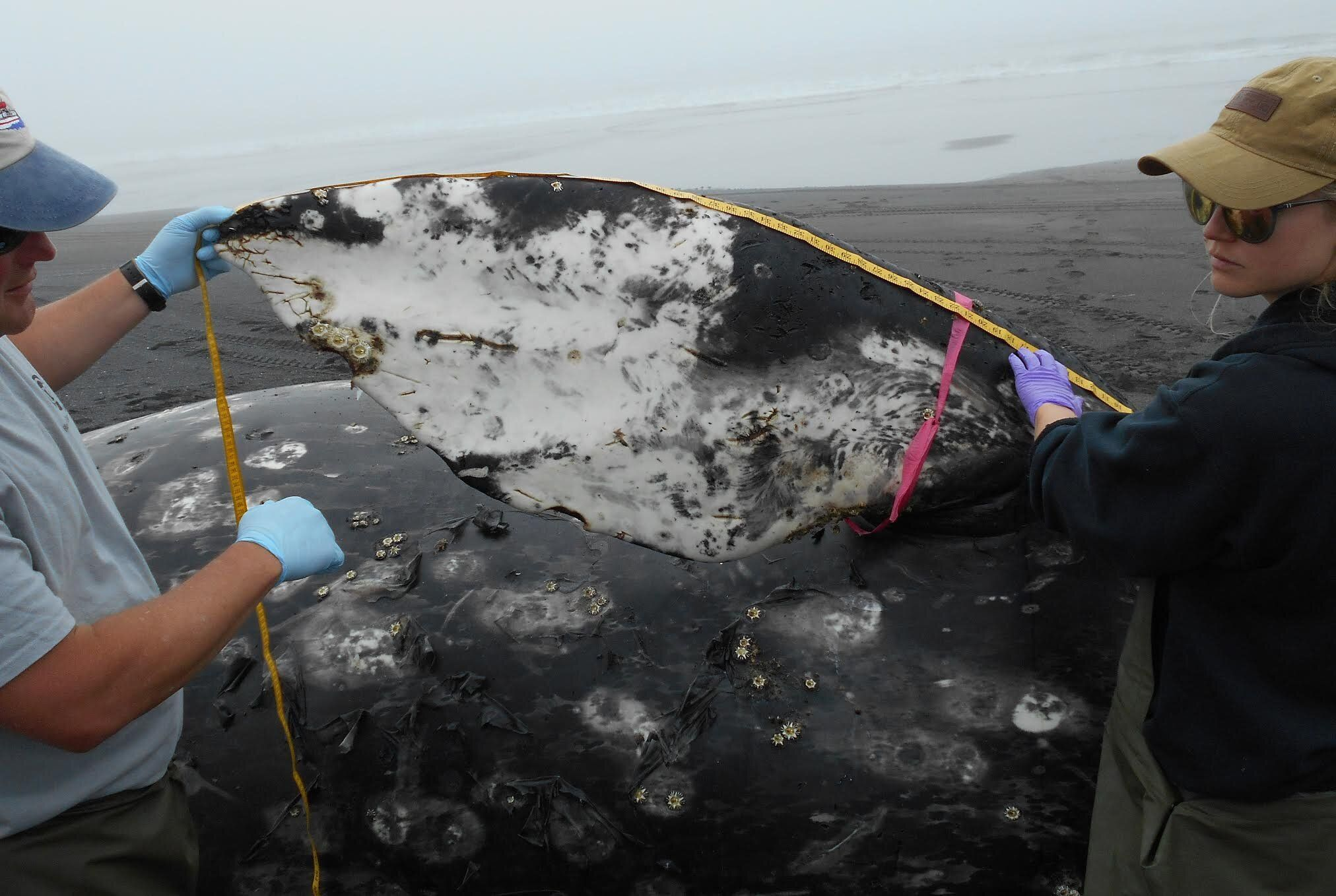 Members of a necropsy team measure the pectoral fin of a dead gray whale found at Surfers Beach on Kodiak Island. It was the