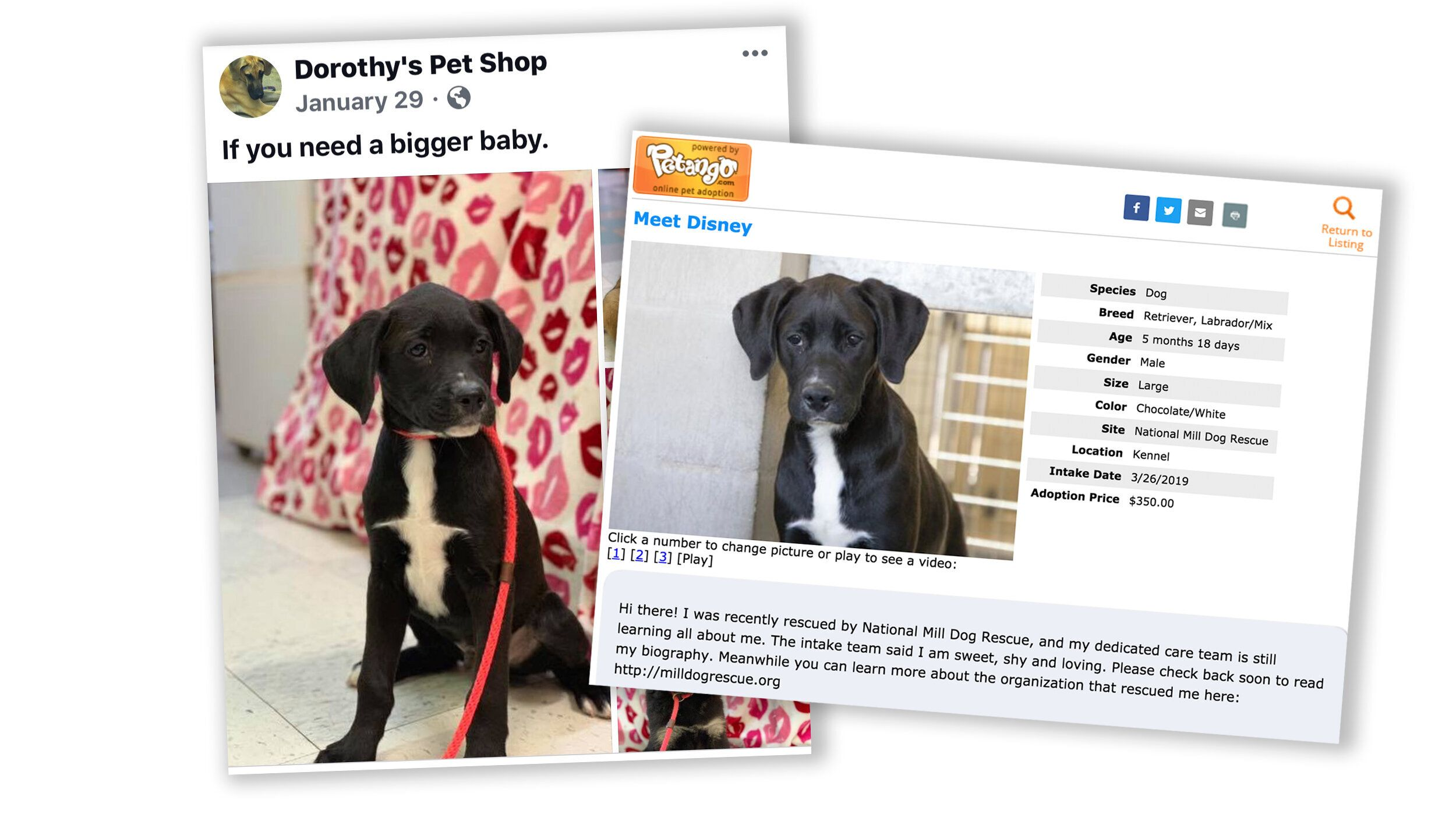 """A black puppy named """"Disney"""" for sale at Dorothy's Pet Shop on the left and then available through National Mill's website fo"""