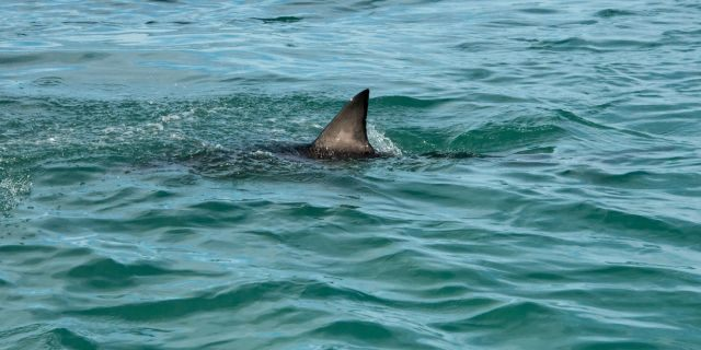 A great white shark's fin showing above the water.