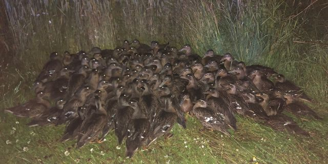 Scotland Police aren't sure how a large flock of ducklings wound up on the side of the road Saturday night.