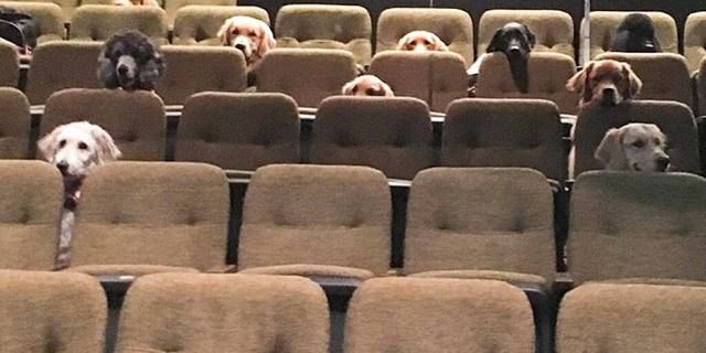 A group of service dogs viewing a performance of Billy Elliot in Ontario Canada.