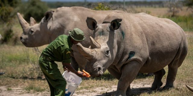 Female northern white rhinos Fatu, 19, right, and Najin, 30, left, the last two northern white rhinos on the planet, are fed some carrots by a ranger in their enclosure at Ol Pejeta Conservancy, Kenya Friday, Aug. 23, 2019. Wildlife experts and vets say there is hope for the northern white rhino which is on the verge of extinction, after they successfully managed to draw eggs Thursday from the last two of the species, hoping they can be used to reproduce the species through a surrogate. (AP Photo/Ben Curtis)