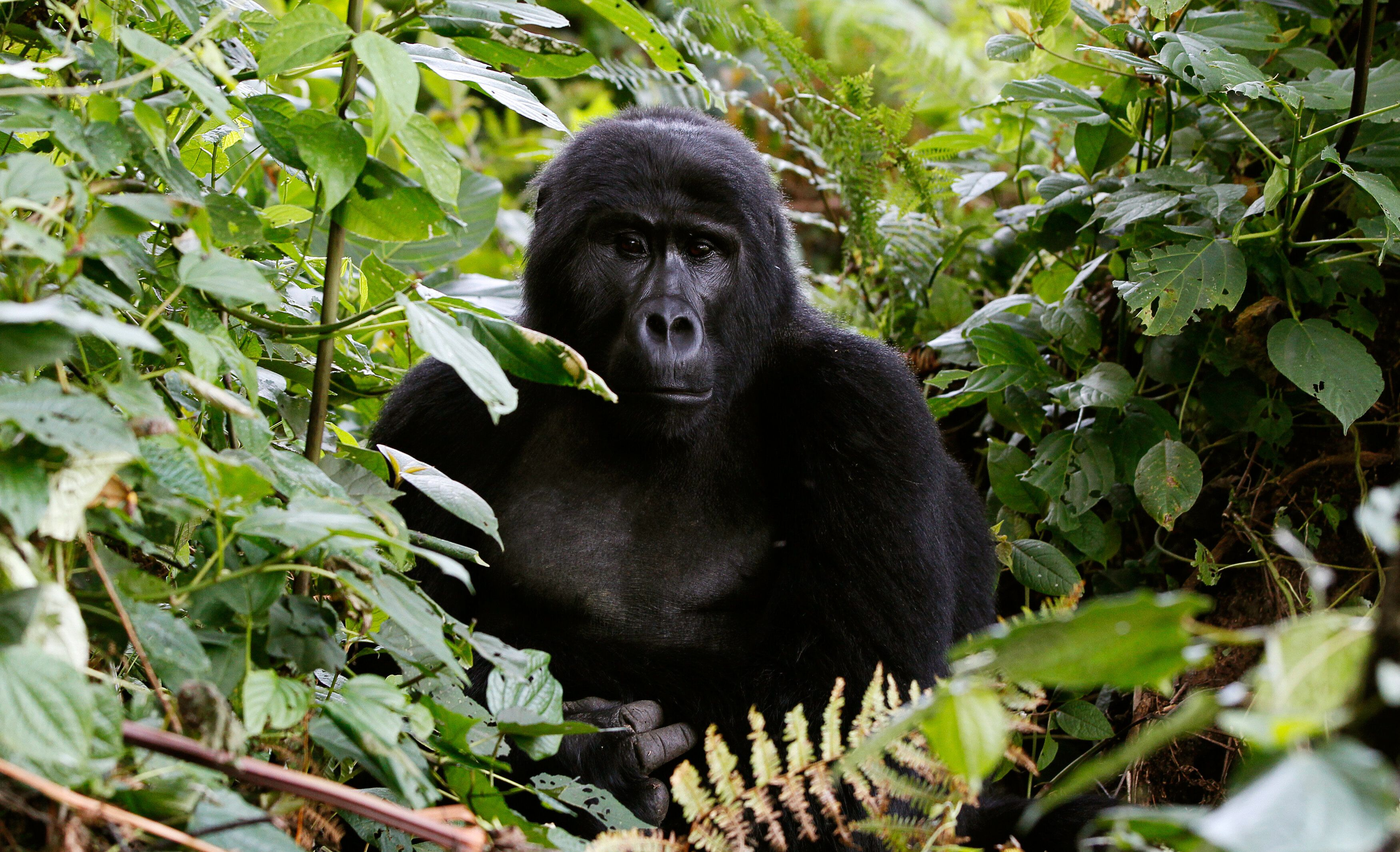An endangered mountain gorilla from the Bitukura family, rests among vegetation inside a forest in Bwindi Impenetrable Nation
