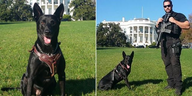 Hurricane was credited with assisting Secret Service agents to stop an intruder at the White House in October 2014.