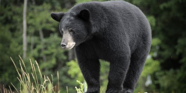 A Minnesota woman was killed by a black bear while on a Canadian island over the weekend.