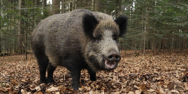 The father and son were reportedly hunting boar, like the one pictured above, in an area where hunting boar was unauthorized. (Sus scrofa)