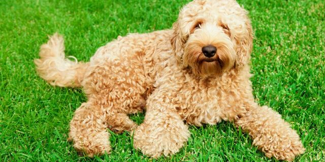 Cute golden labradoodle laying in lush green grass.