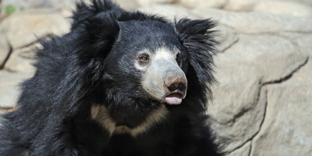 """An Indian man identified as """"Yarlen"""" allegedly ate sloth bear genitalia to boost his sex drive, officials said."""