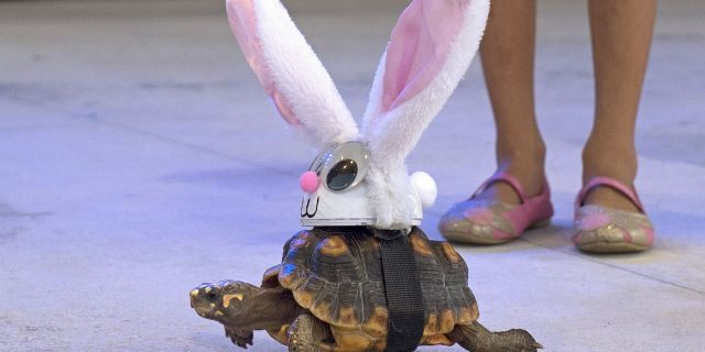 """Donna the tortoise crawls on the Fantasy Fest Pet Masquerade stage in Key West, Fla., costumed as characters from the classic fable """"The Tortoise and the Hare."""" (Rob O'Neal/Florida Keys News Bureau via AP)"""