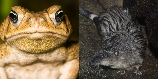 """Highly intelligent Australian water rats have learned how to kill poisonous cane toads in Australia by eating their hearts and carving their organs with """"surgical precision,"""" according to research published in Australian Mammalogy."""