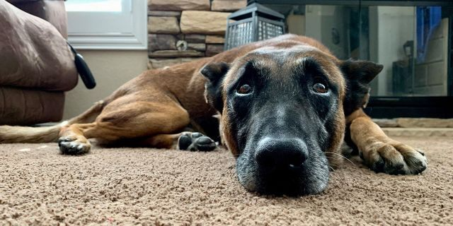 Hunter, a Belgian Malinois working with police in Las Vegas, Nev., was repeatedly stabbed by a suspect on Saturday morning, officials said.