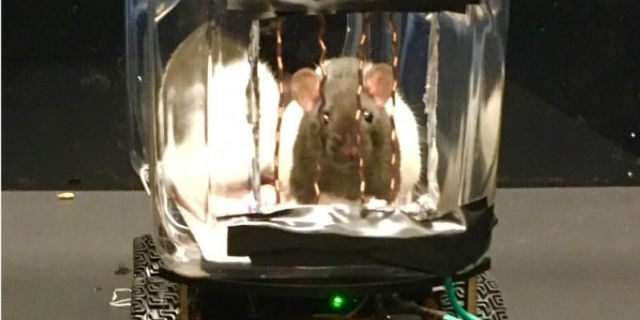 A picture of a rat inside a small car, courtesy of the University of Richmond.