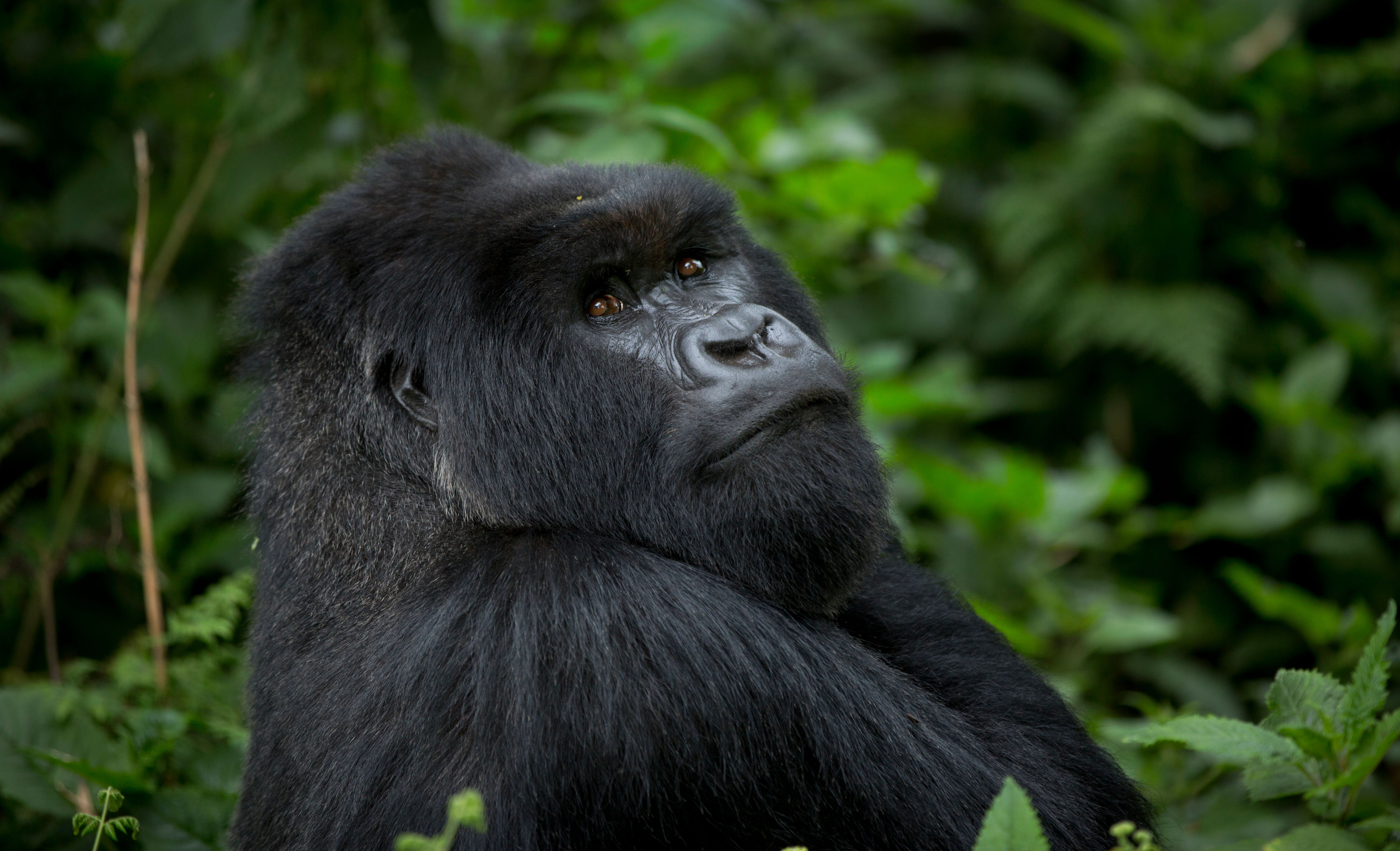 FILE - In this Friday, Sept. 4, 2015 file photo, a male silverback mountain gorilla from the family of mountain gorillas name