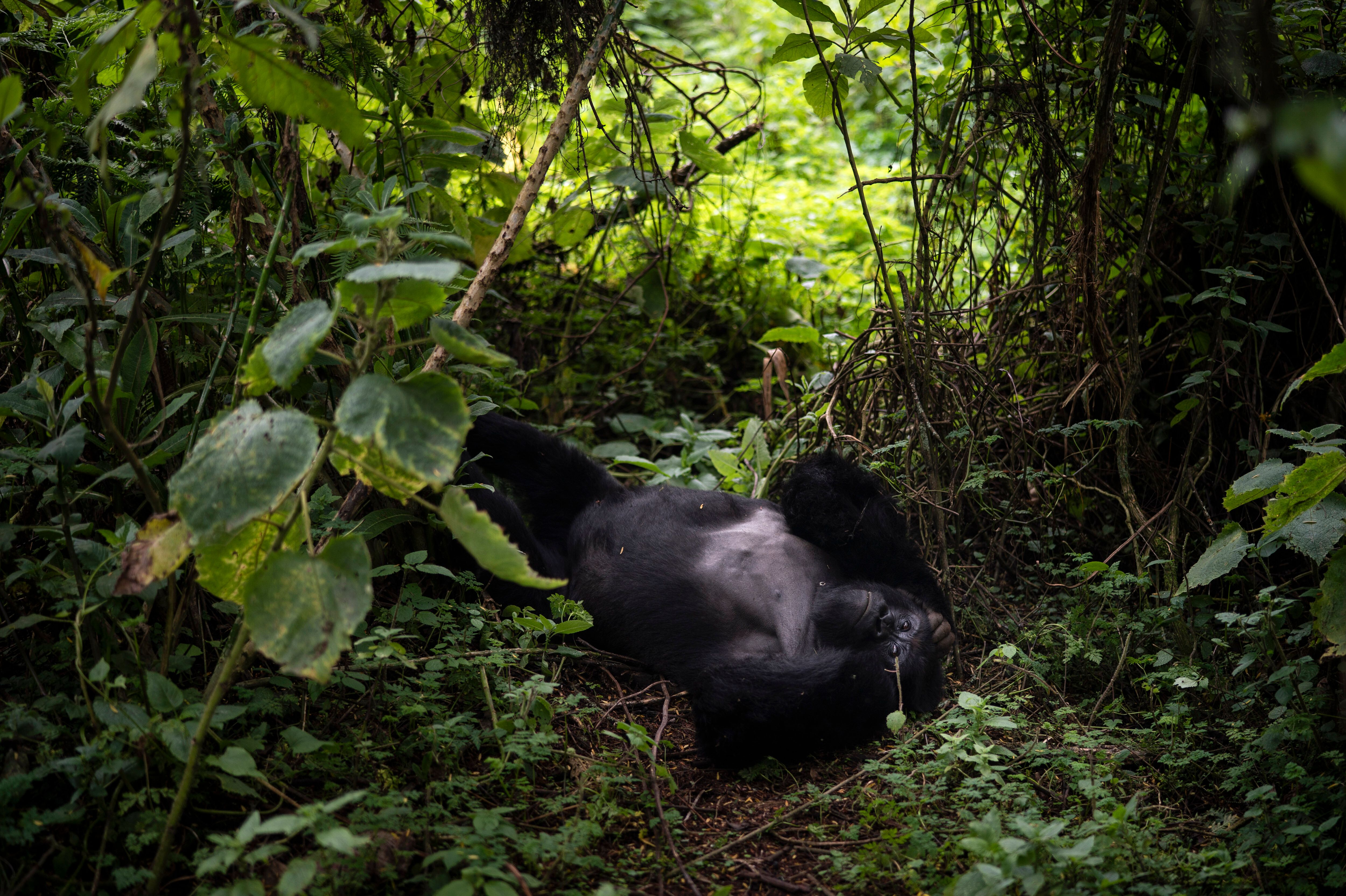 In this Sept. 2, 2019 photo, a silverback mountain gorilla named Segasira lies under a tree in the Volcanoes National Park, R