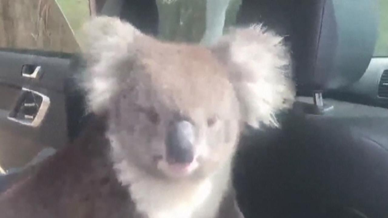 Koala cools off in air-conditioned car in Adelaide, Australia