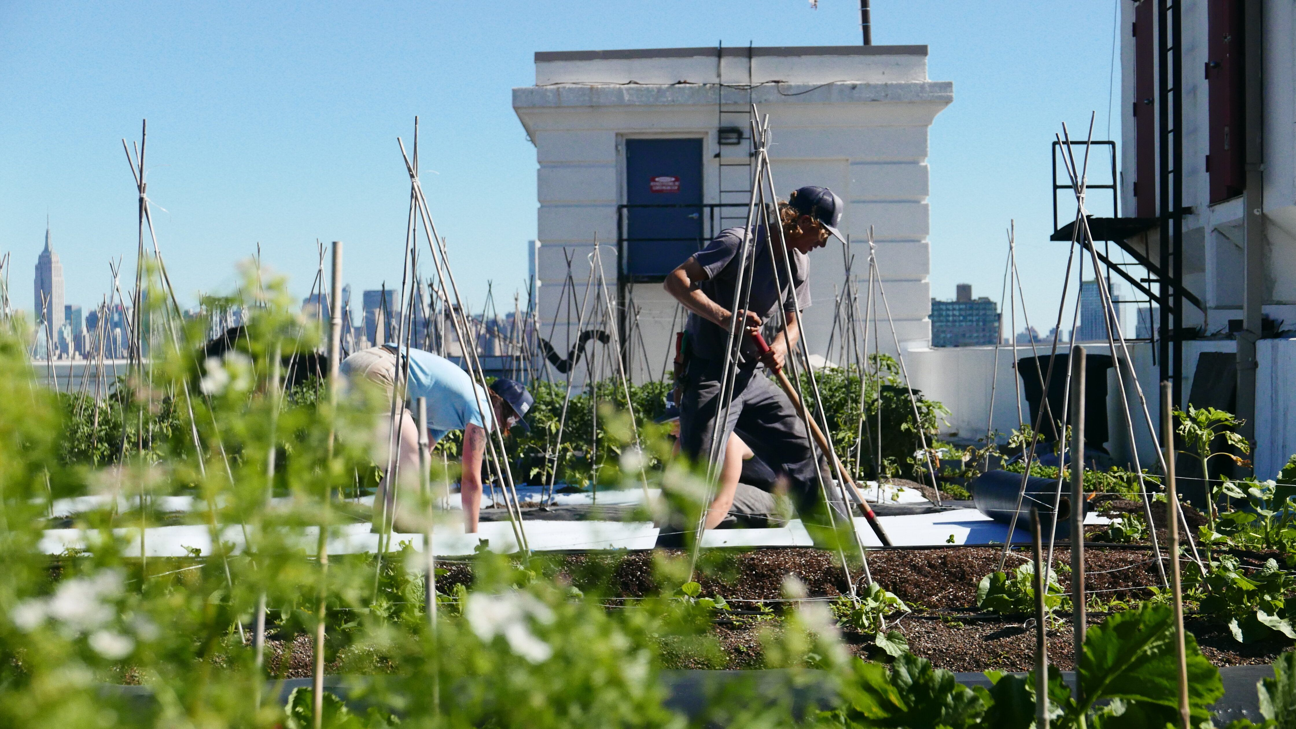 Farmers working at Brooklyn Grange's rooftop farm at the Brooklyn Navy Yard in New York City.