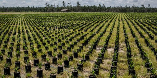 A palm oil plantation in Indonesia. The owner of a palm oil company was arrested in connection with two murders, police said.