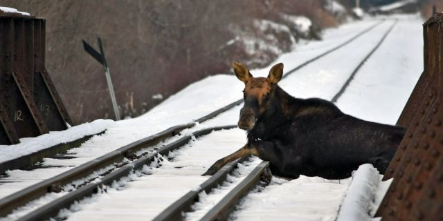 A moose that was stuck on an active railroad bridge in Vermont was removed and relocated with minimal injuries, according to state fish and wildlife officials.