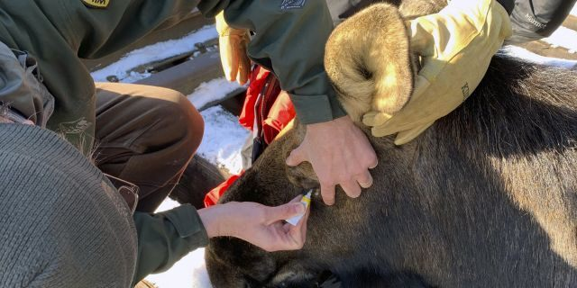 Local game wardens and wildlife biologists sedated the moose during the removal.