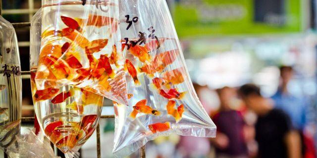 """Goldfish market in Tung Choi Street in Hong Kong, China"""