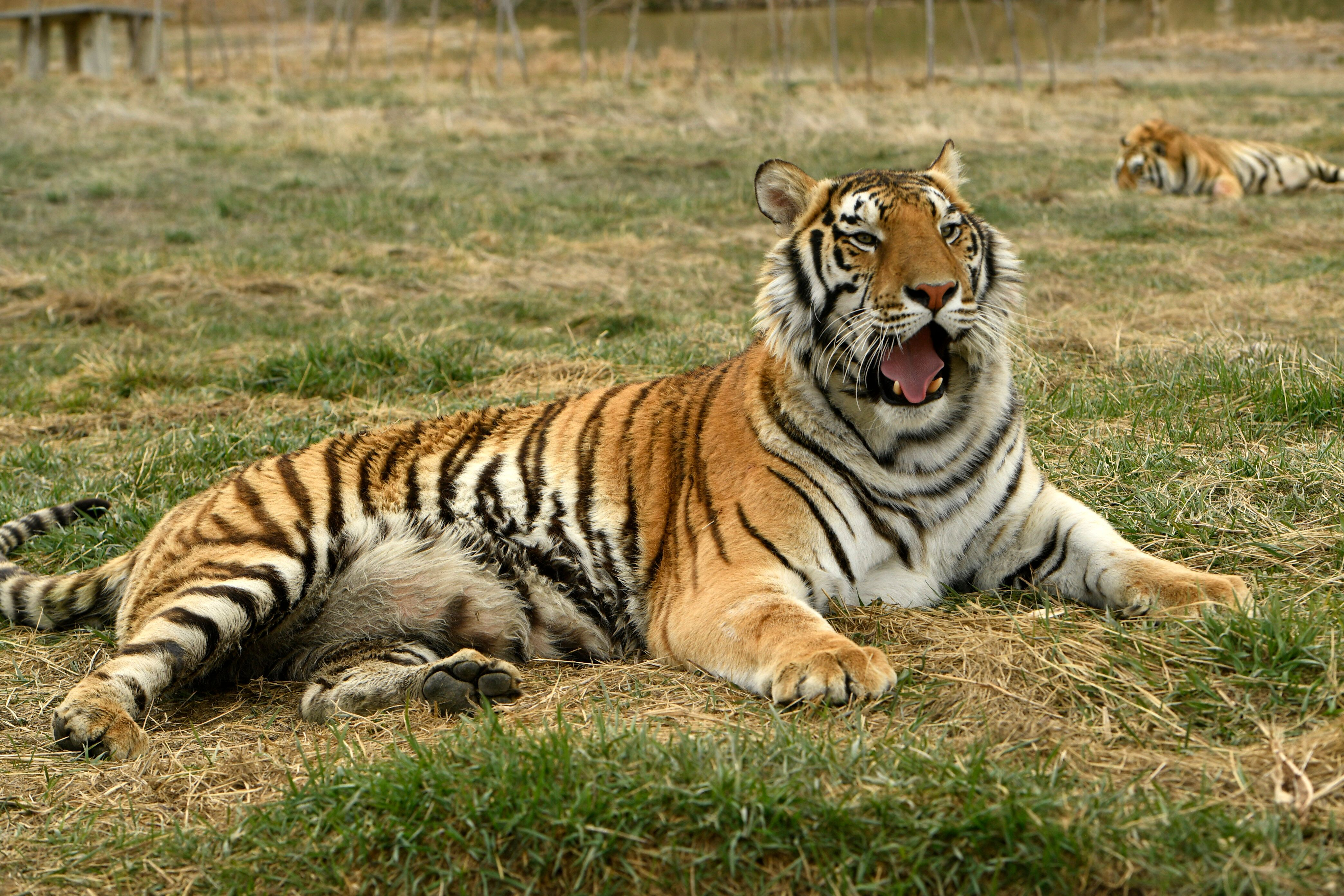 Thirty-nine tigers and three black bears formerly in the possession of Oklahoma zookeeper Joe Exotic now live at The Wild Ani