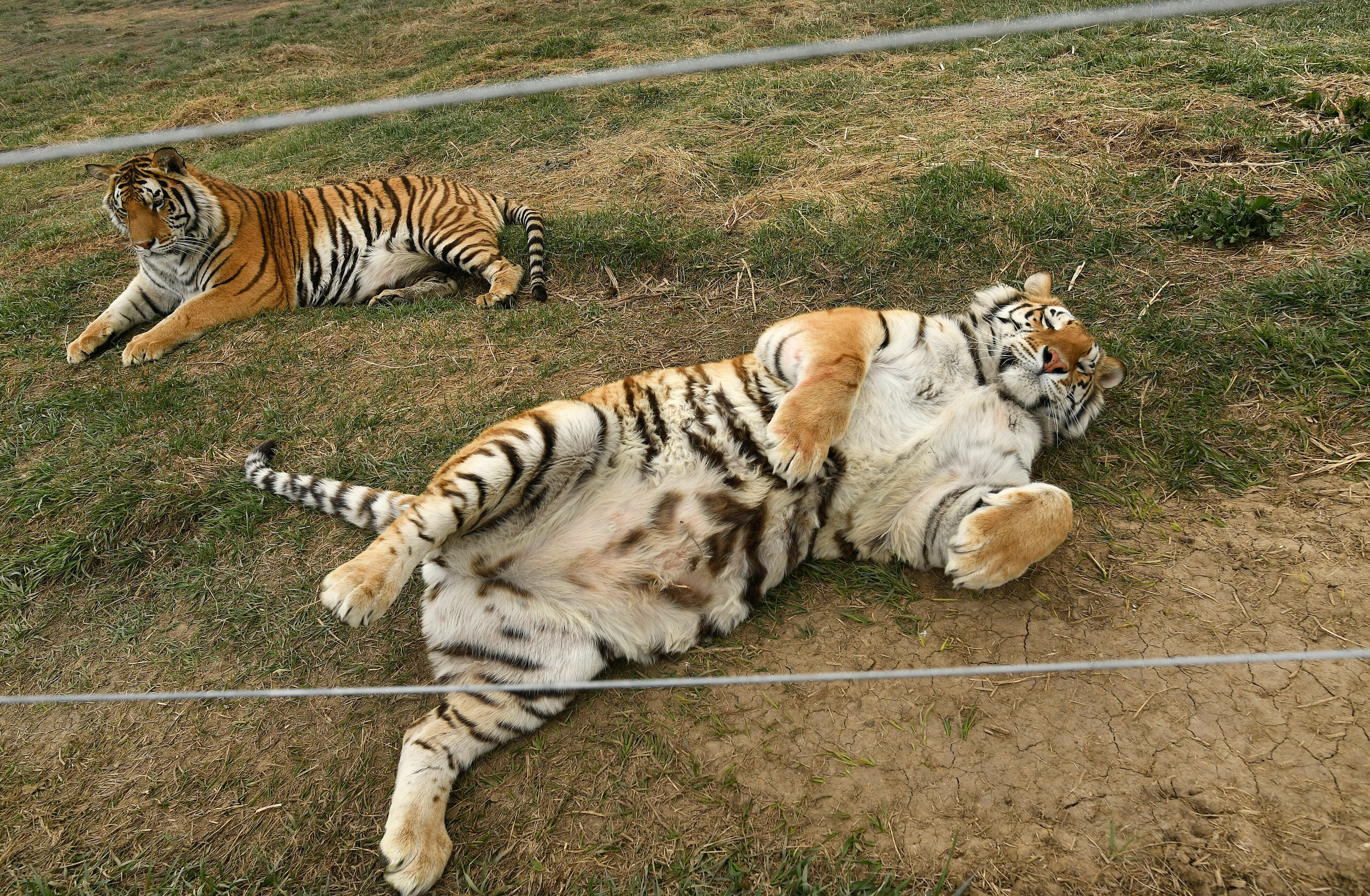 The tigers were reportedly in bad condition when they first got to The Wild Animal Sanctuary in 2017, suffering from psycholo