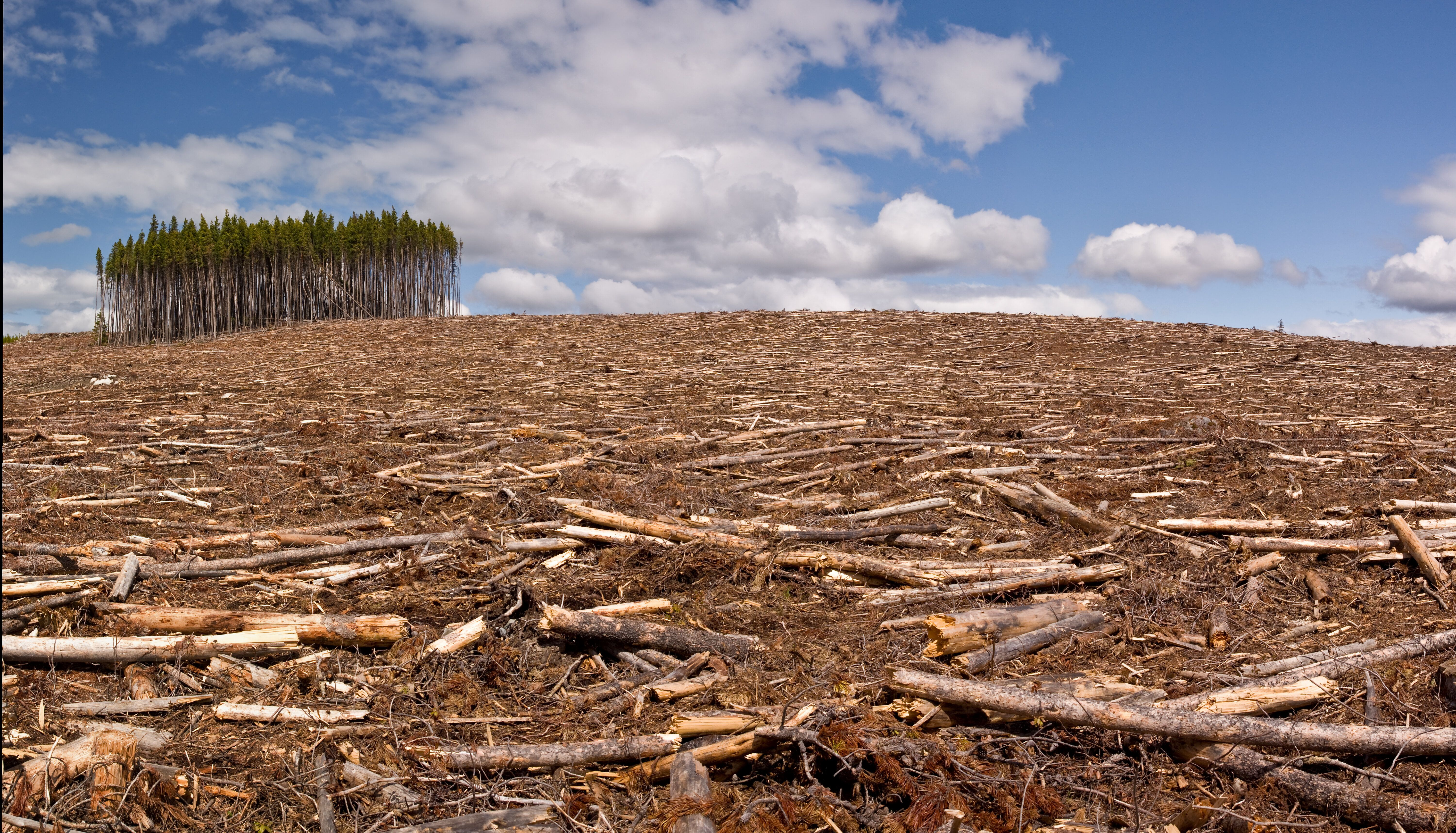 A small island of trees in a clear-cut pine forest. Dramatic changes in land use have contributed to the rise of zoonotic dis