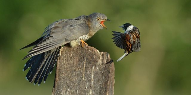 These hilarious photos show a cuckoo seeing off a series of smaller birds in a string of furious face-offs. (Credit: SWNS)