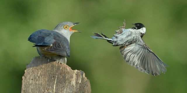 The larger birds can be seen with their jaws agape as they bear down over the smaller creatures, which are a bunting and a warbler. (Credit: SWNS)