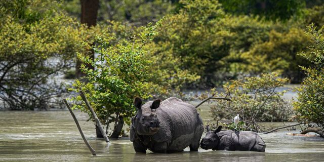 A one horned rhinoceros and a calf wades through flood water at the Pobitora wildlife sanctuary in Pobitora, Morigaon district, Assam, India, July 16.