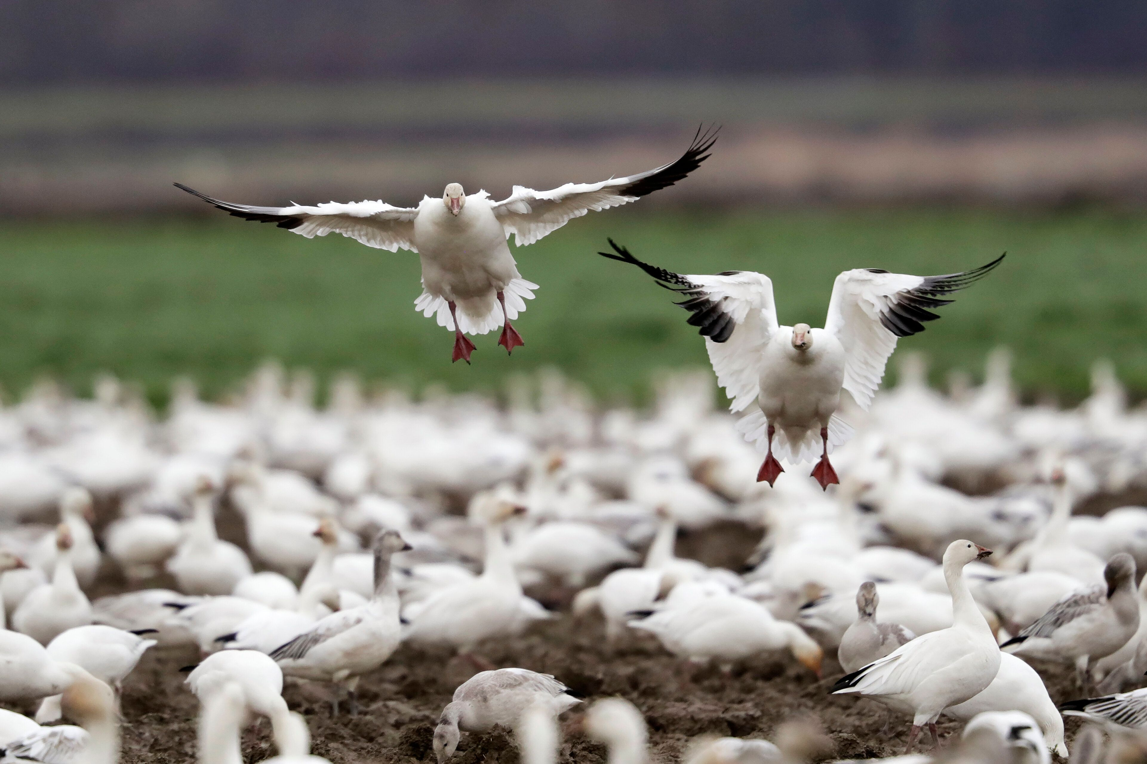 A pair of snow geese land among others on a farm field at their winter grounds near Conway, Washington, in 2019. More than 50