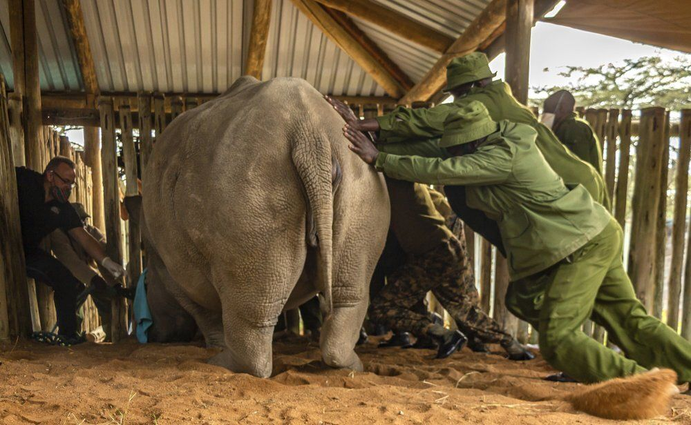 An international team of scientists said they successfully extracted eggs from the last two remaining northern white rhinos,