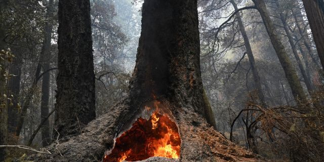 Fire burns in the hollow of an old-growth redwood tree in Big Basin Redwoods State Park, Calif., on Monday. The CZU Lightning Complex wildfire tore through the park but most of the redwoods, some as old as 2,000 years, were still standing. (AP)