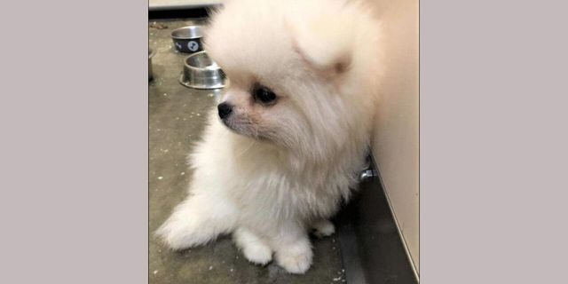 Pomeranian puppy, courtesy of U.S. Customs and Border Protection