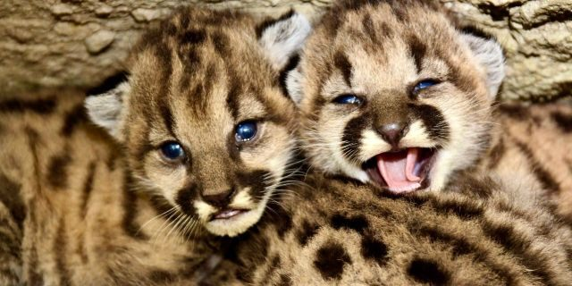 Biologists in California said they found an unprecedented 13 kittens born to five mothers between May and August in the Santa Monica Mountains and Simi Hills. (National Park Service)