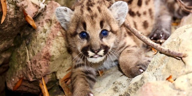 It's the first time researchers have found so many mountain lion kittens born in the 18 years they've been studying the wild cats. (National Park Service)