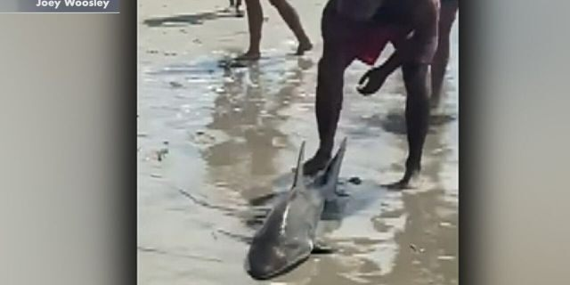The shark can be seen after it was brought on the beach.