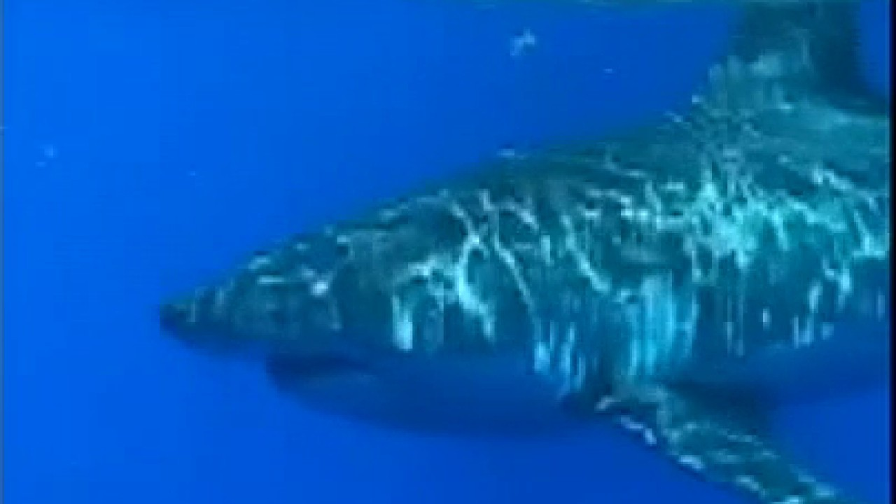 Raw video: Great white shark spotted circling fishing boat off Florida coast
